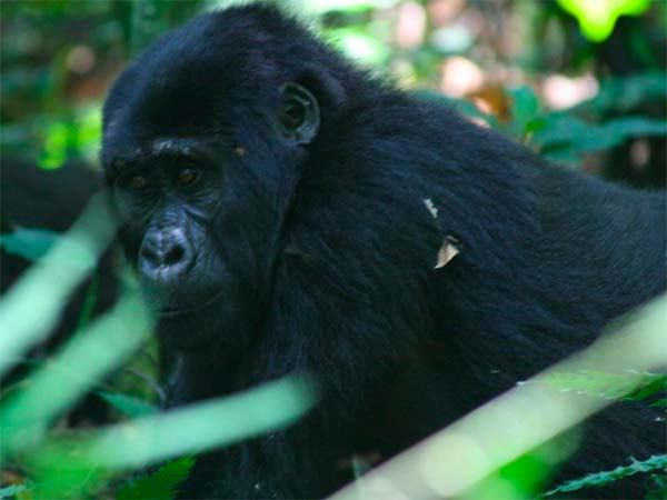 Gorilla's in Oegenda