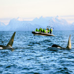 Whale safari norway