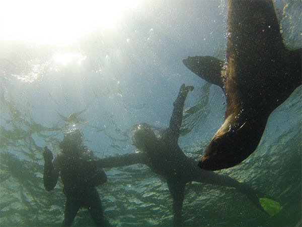 snorkelen met zeehonden houtbaai kaapstad, snorkling with seals hout bay