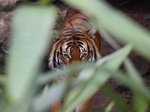 tijgersafari india