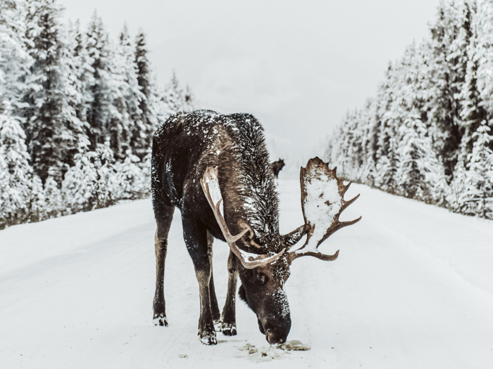 winter wildlife tour jasper